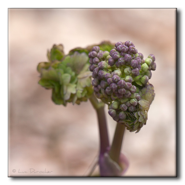 Pigamon à feuilles d'ancolie (Thalictrum aquilegif