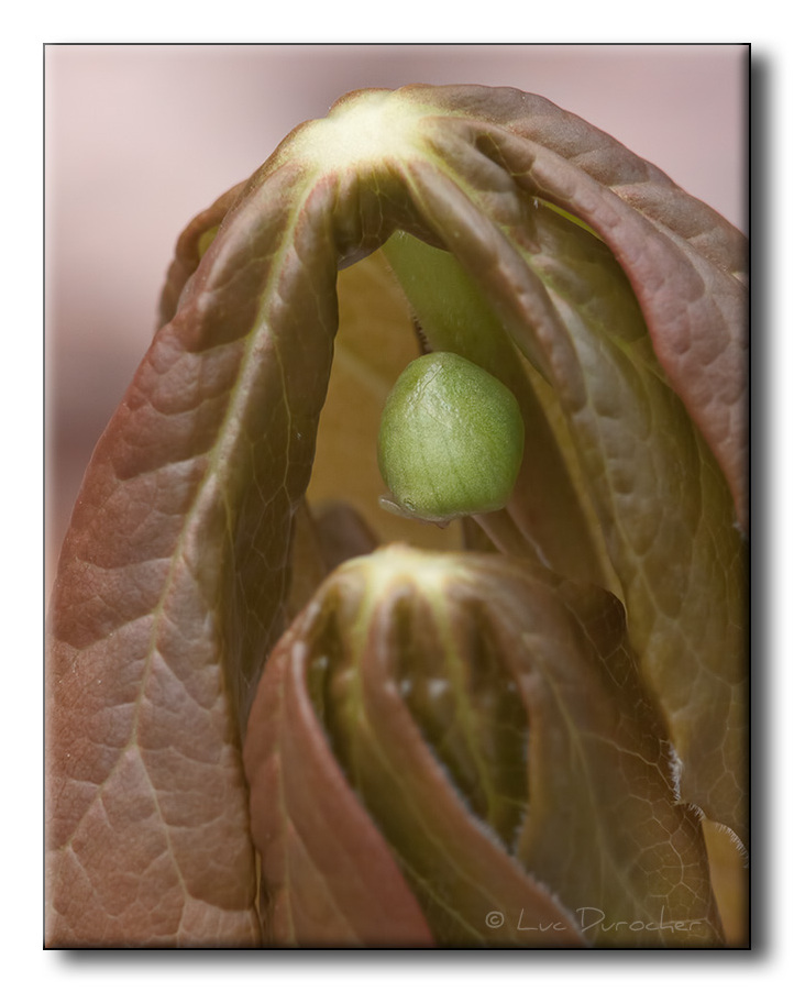 Pomme de mai (Podophyllum peltatum)