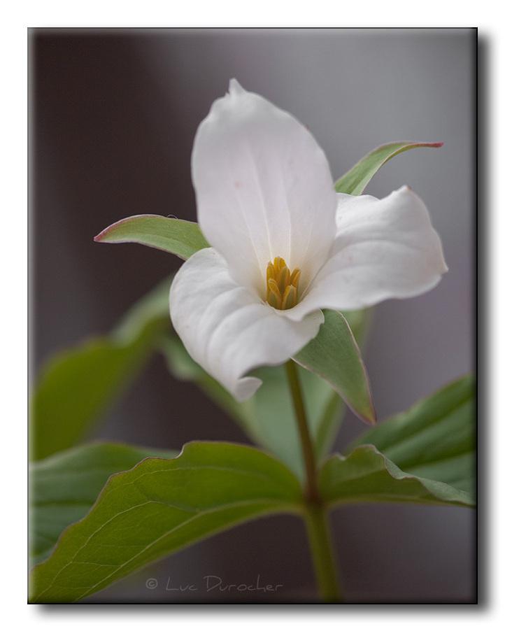 Trille blanc (Trillium grandiflorum)