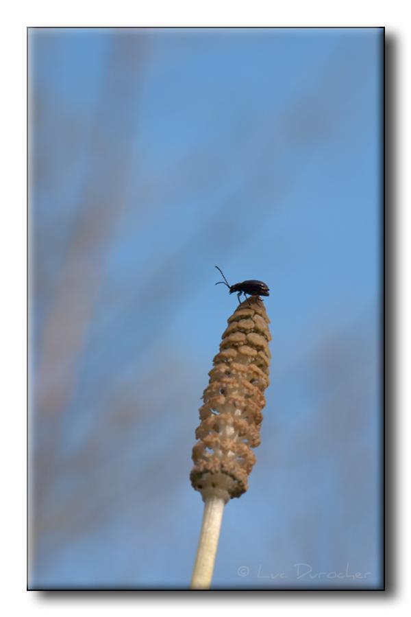 Coléoptère sur Prêle des bois