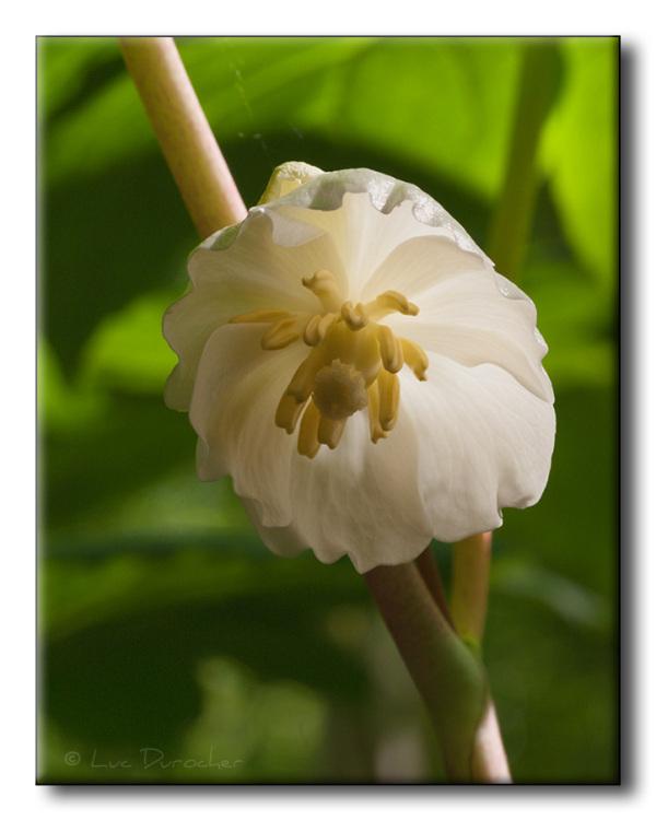 Podophylle pelté - May-apple