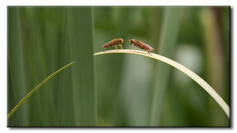 Diptères