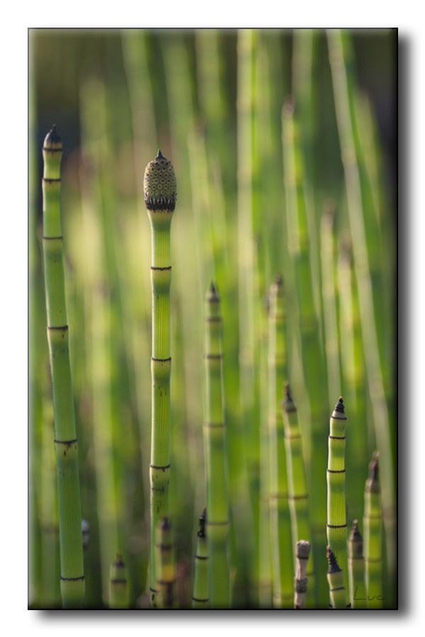 Prêle des tourneurs (Equisetum hyemale)