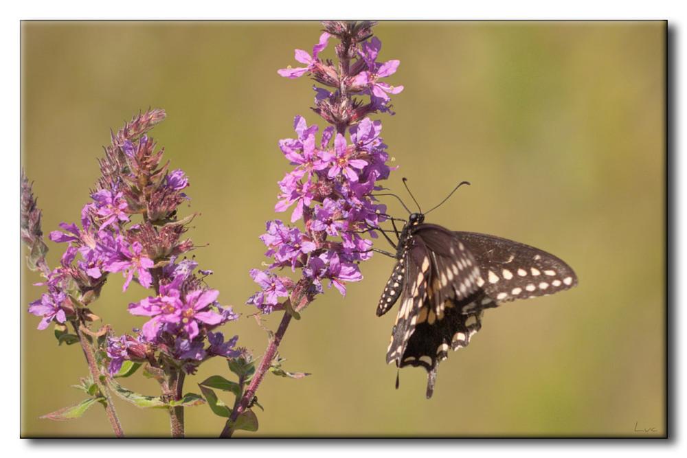 Papillon du céleri sur Salicaire