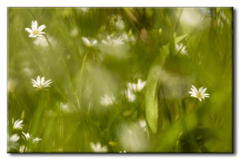 Stellaires graminoides