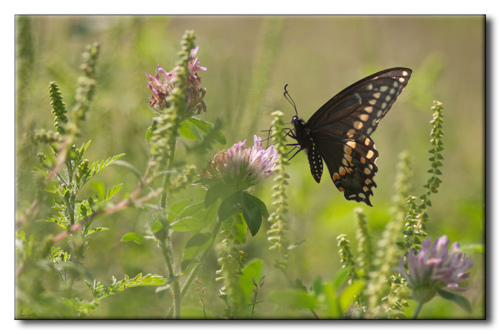 Papillon du Céleri