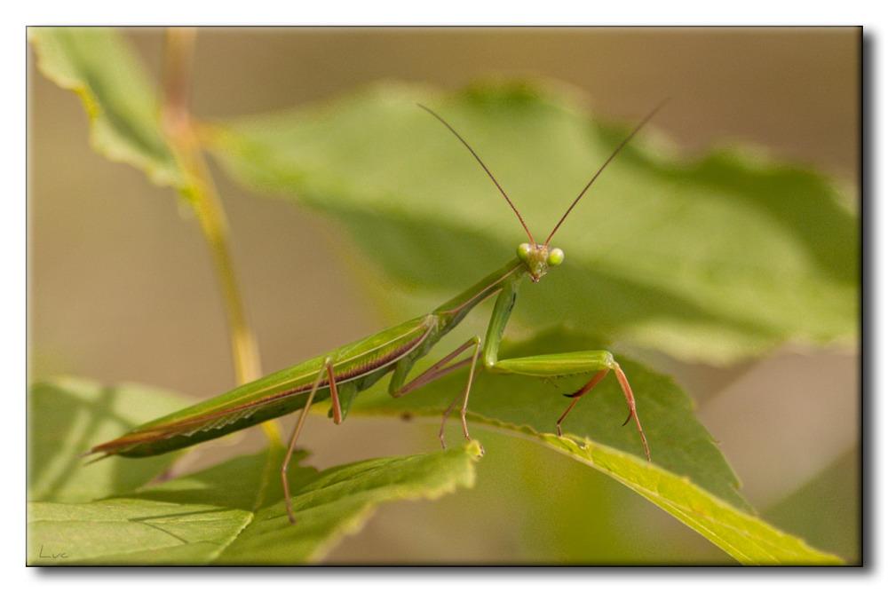 Mante religieuse - Mantis religiosa