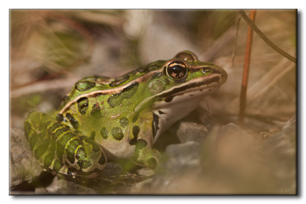 Grenouille Léopard - Northern Leopard Frog - Litho