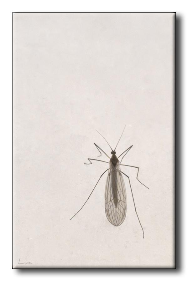 Trichocère hivernale - Winter Gnat - Trichocera hi