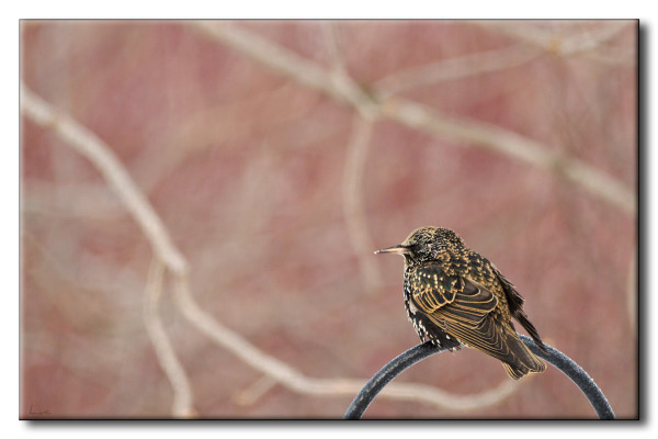 Étourneau sansonnet - Common Starling - Sturnus