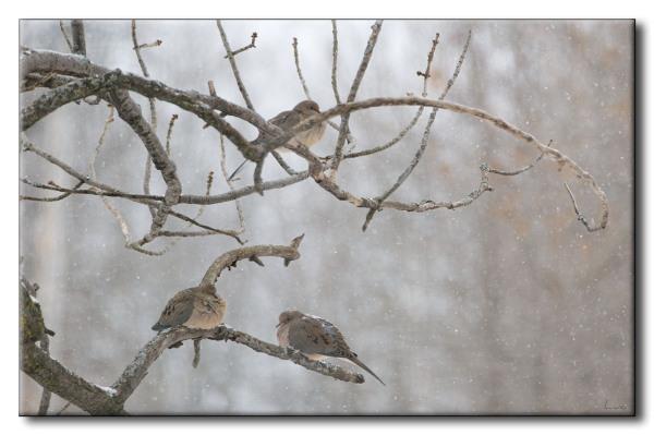 Tourterelles tristes - Mourning Dove - Zenaida