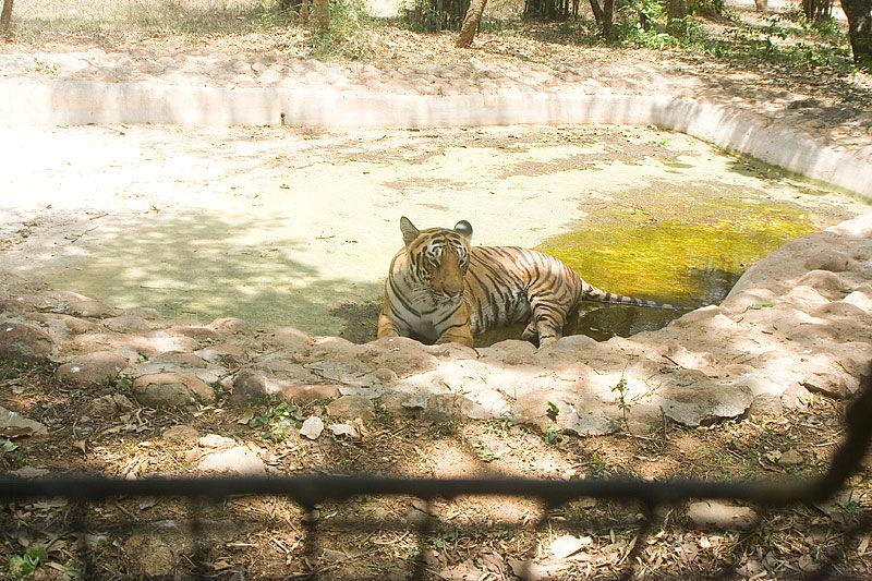 Tiger in Bangalore Zoo