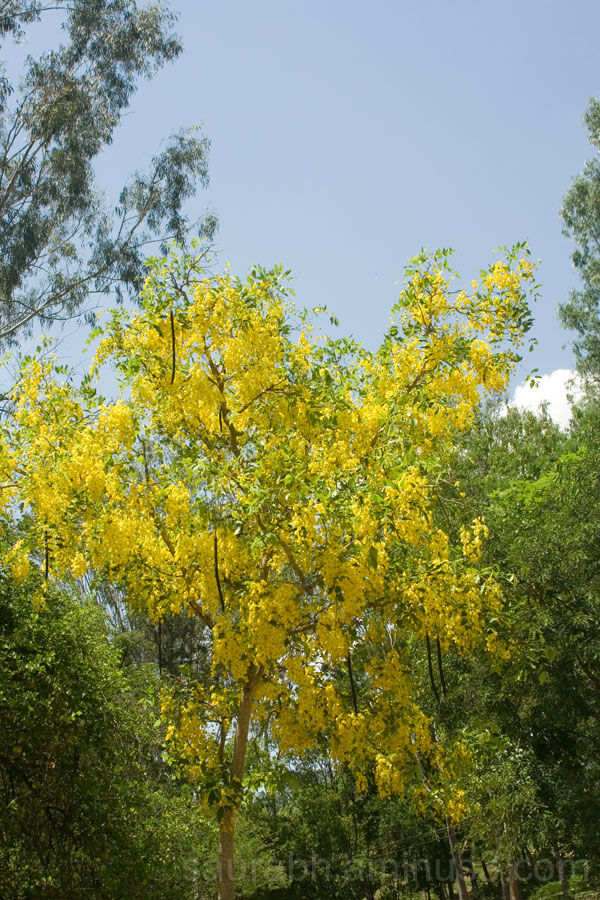 Nature, Plants, Tree, Yellow-Flower