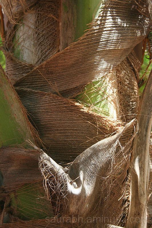 Coconut-Tree, Tree, Chunnambar