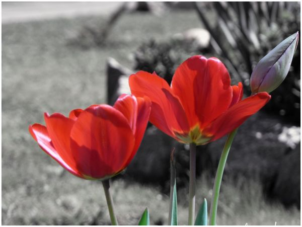 black background and red tulips