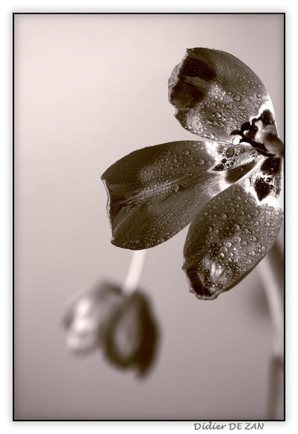 Tulipes....