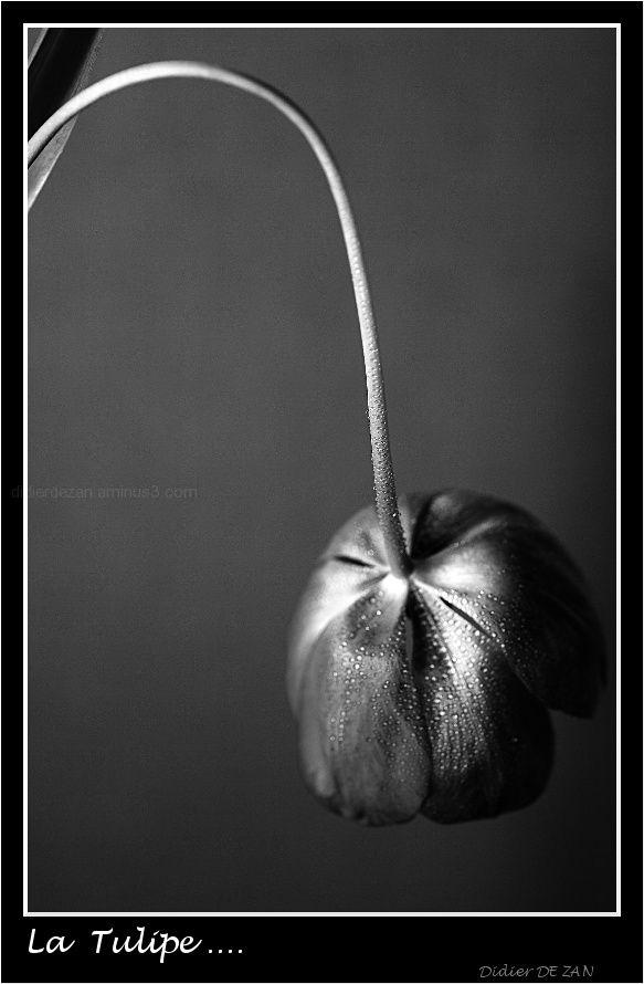 La tulipe ....