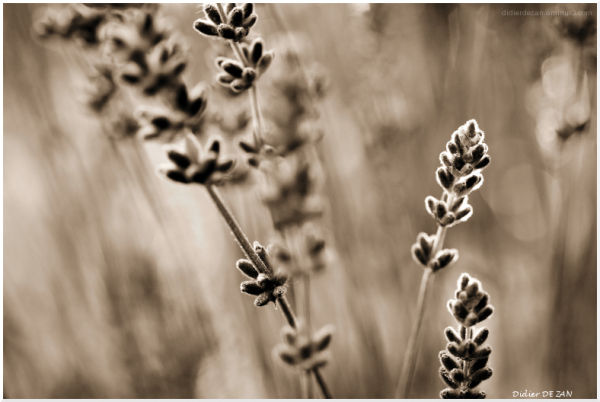 Lavender gray .....