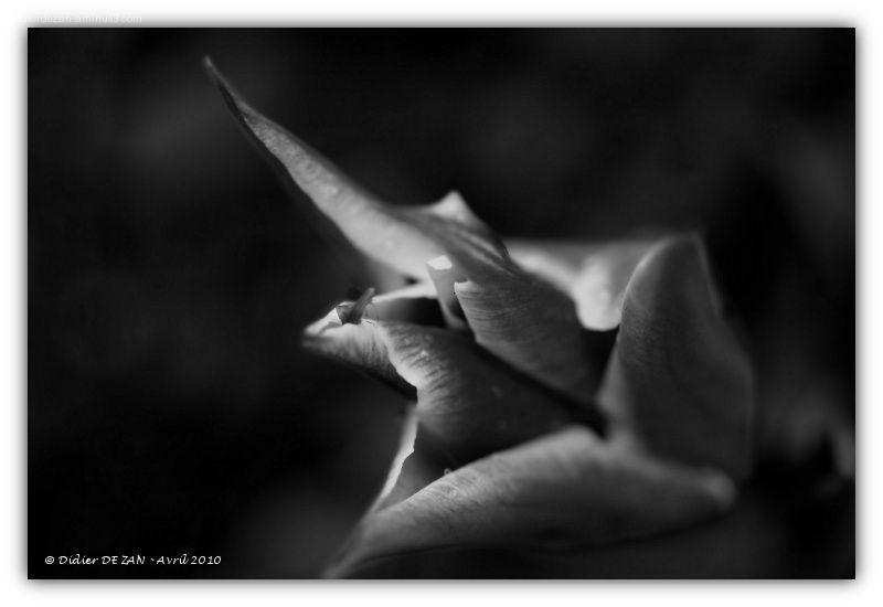 Tulipes ....
