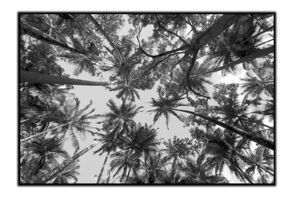 Sous les palmiers, les cocotiers ...