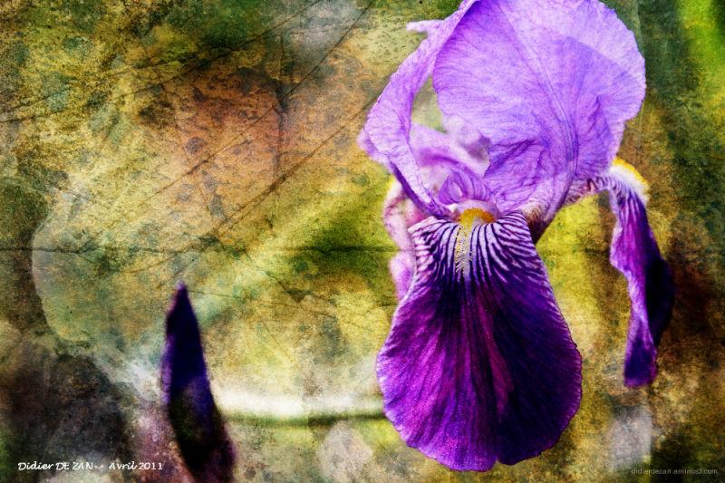 Iris .....