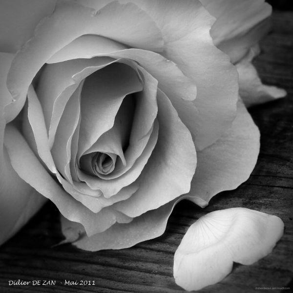 Rose ....