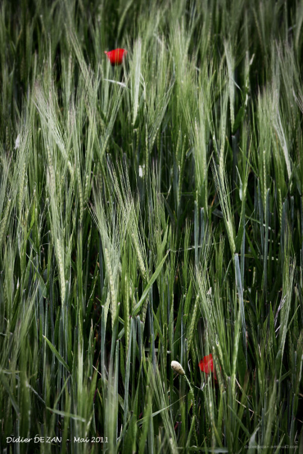 Perdus dans les blés .....