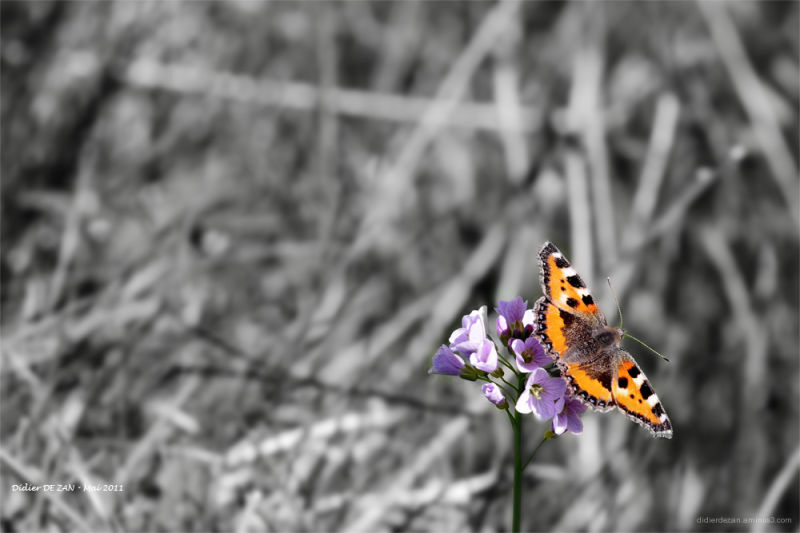 Petit Papillon ....