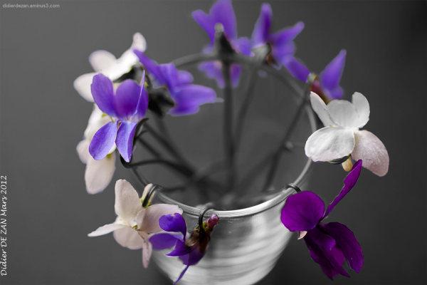 Violettes .....