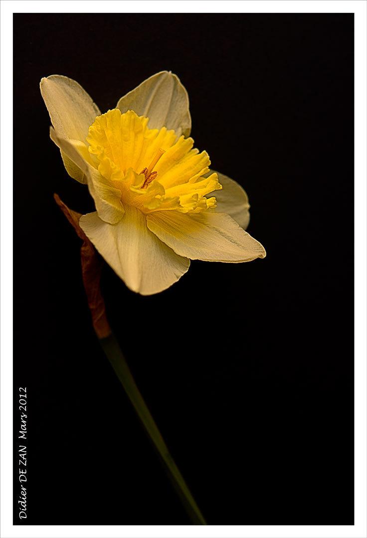 Daffodil .....