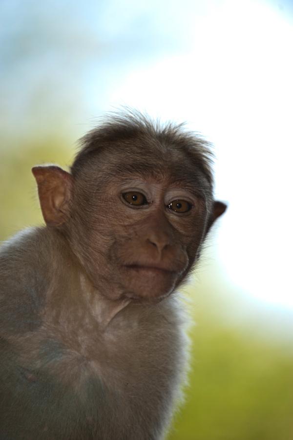 Mountain monkey India