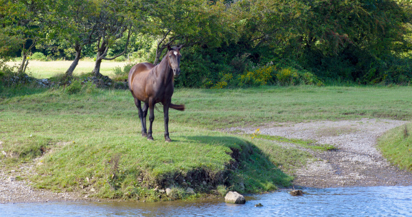 Horse on river bank