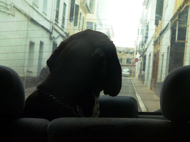 Perro en maletero de coche