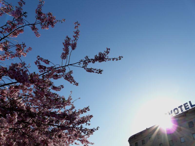 almendro florido junto a hotel