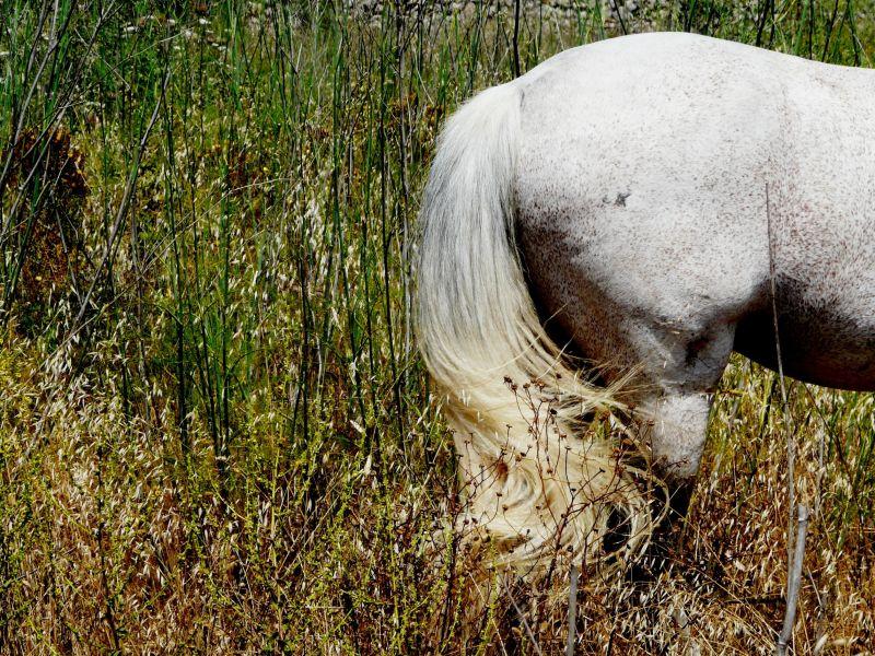 Coa de cavall