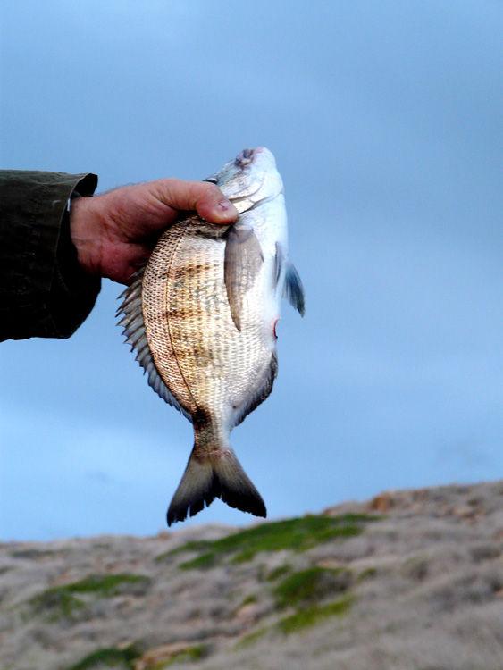 Peix polit