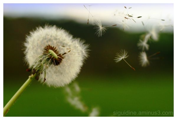 Dandelion seeds blowing by the wind