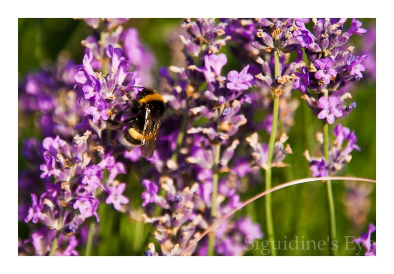 Mr. Bumblebee in the lavender
