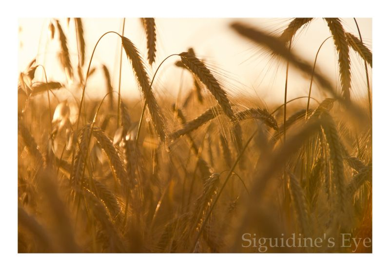 Wheatfield at sunset