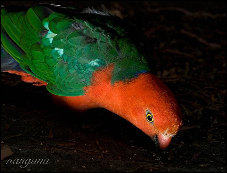 King Parrot, bird, Australia
