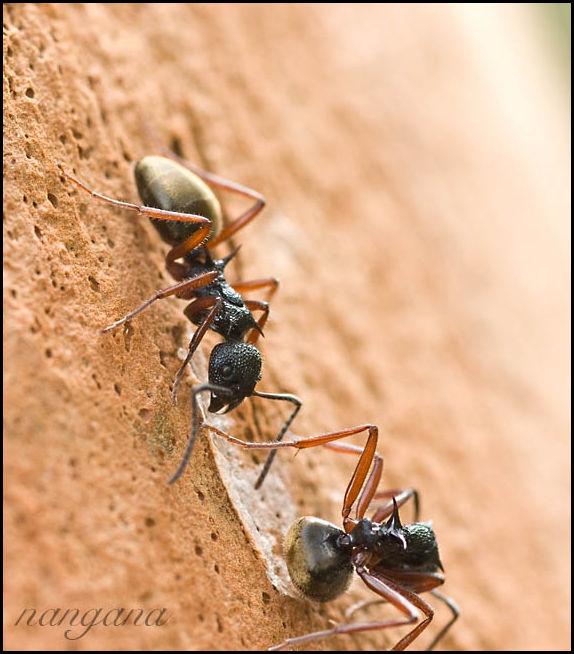 green golden ants spiky