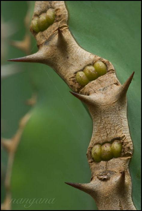 cactus leaf edge