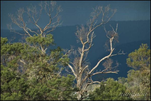 yarra valley tree stormy skies