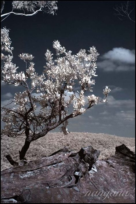 infrared banksia blue mountains