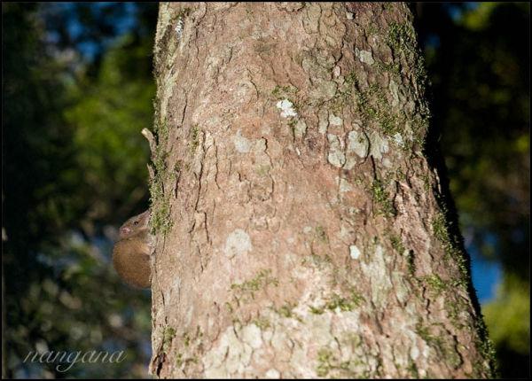 yellow-footed antechinus binna burra lamington