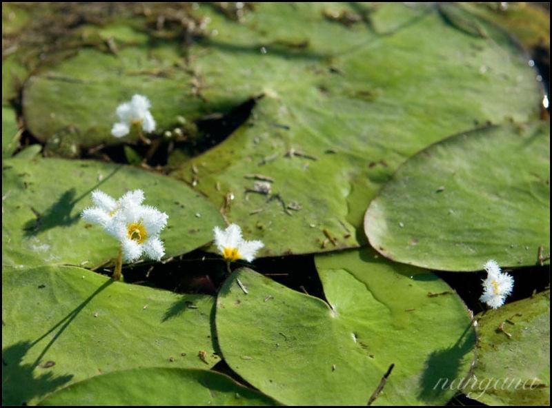 furry waterlillies