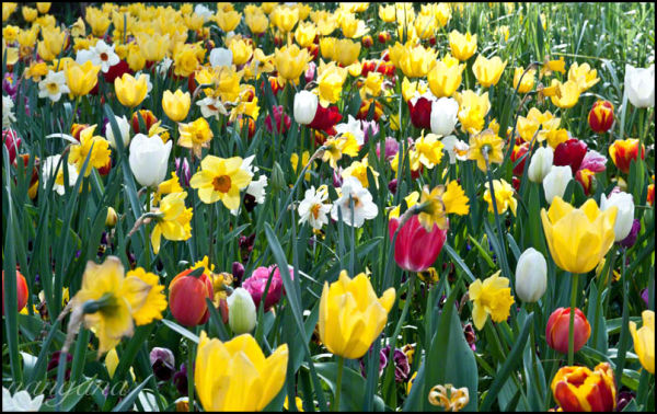 tulips and jonquils