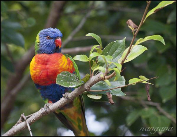 rainbow loriqueet
