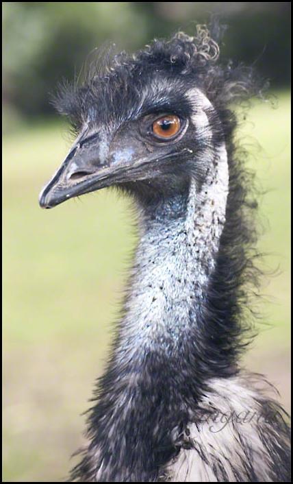 frizzy emu