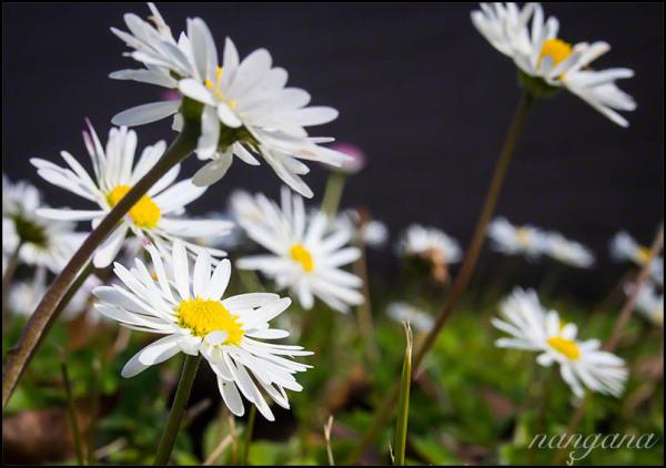 lawn daisy paquerette